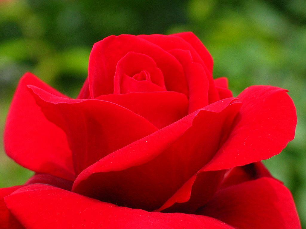 薔薇の画像 p1_9