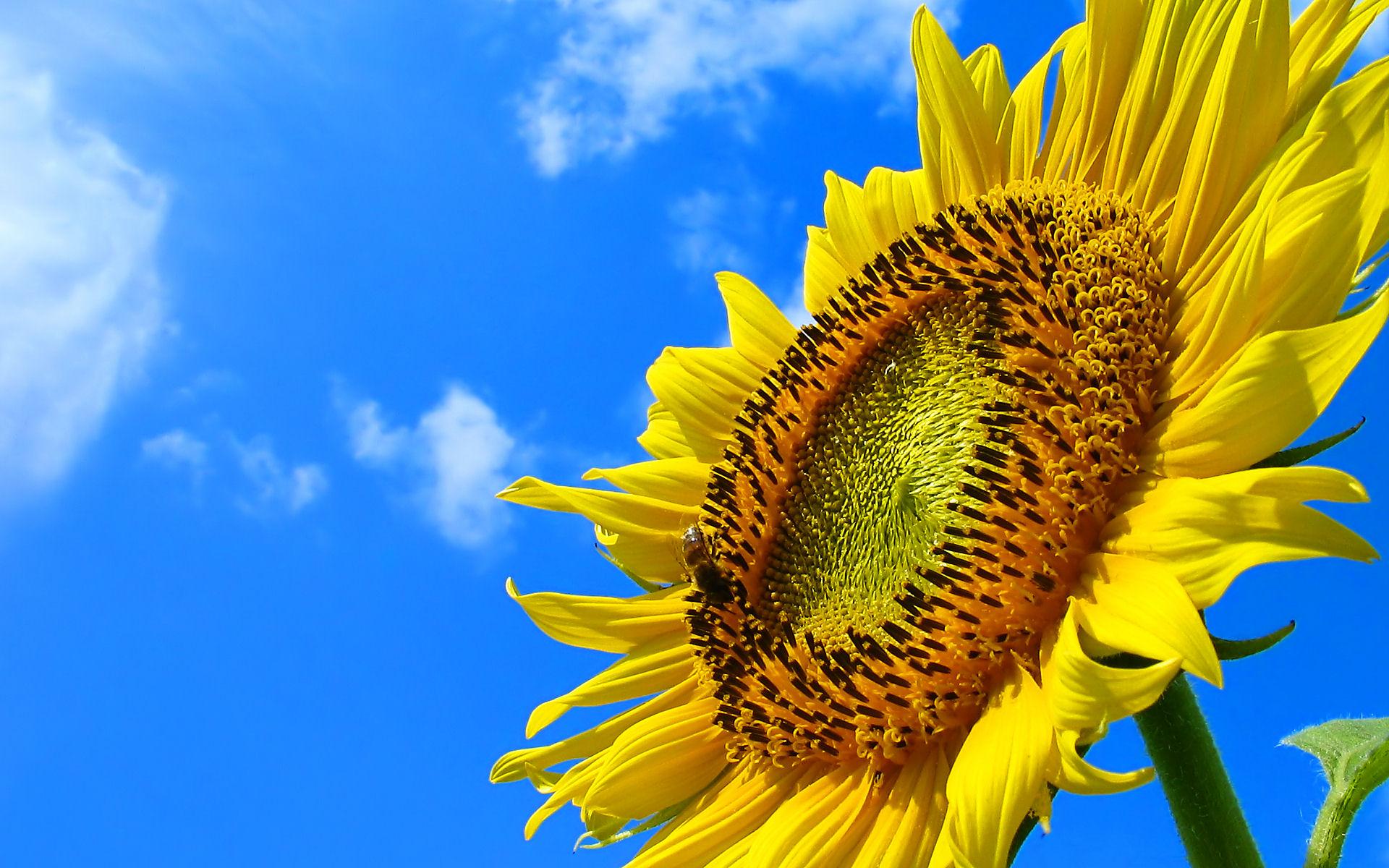 フルhdデスクトップ無料壁紙 ひまわり畑 ひまわりの花 壁紙写真 四季の彩り壁紙写真集