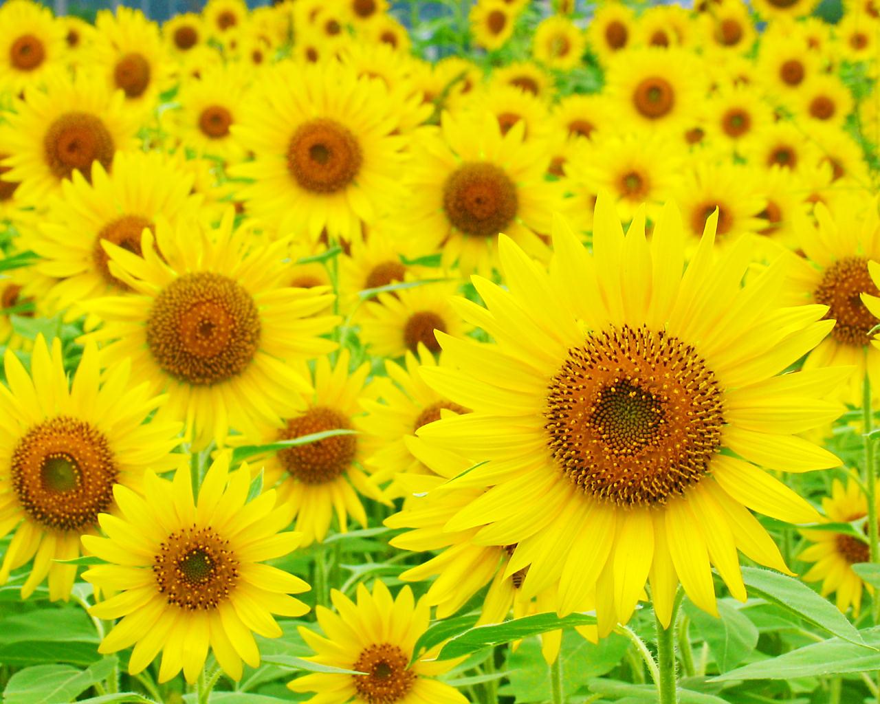 ひまわり畑 ひまわりの花 壁紙写真 四季の彩り壁紙写真集