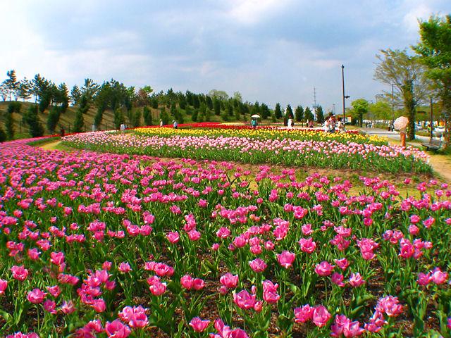 光都チューリップフェア2015 / 上郡町 播磨科学公園都市光都 ...